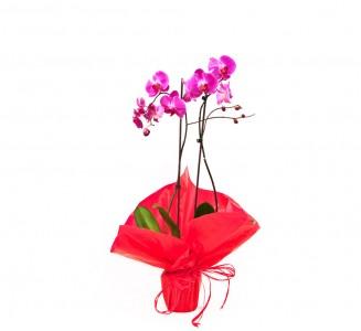 1 orquidea 2 varas san valentin