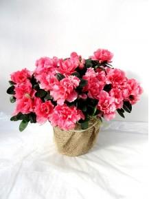Azalea rosa decorada
