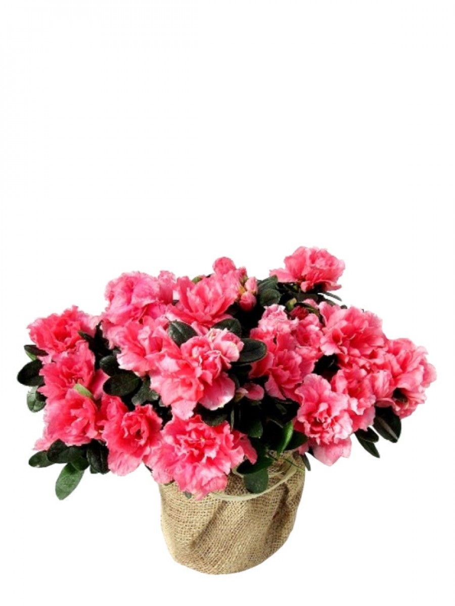 Azalea rosa en arpillera (DISPONIBLE SOLO PARA MADRID)