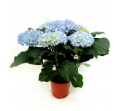 1 Hortensia azul