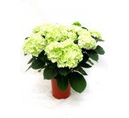 1 Hortensia blanca