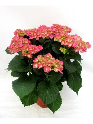 1 Hortensia rosa