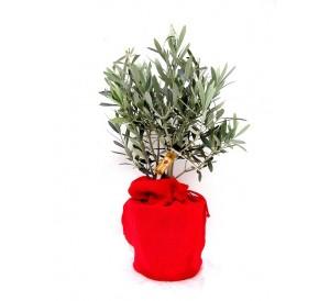 1 olivo en arpillera