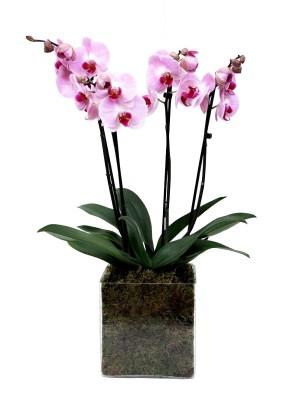 2 Orquídeas de 2 varas en cristal