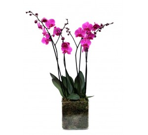 2 orquidea 2 vara vaso cristal