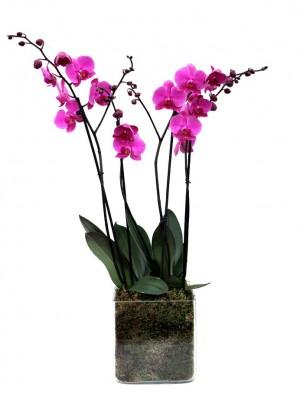 orquidea 2 vara vaso cristal