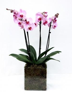 2 Orquideas 2 varas vaso cristal