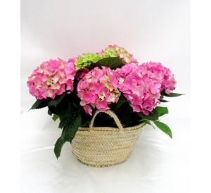 Cesta de hortensias rosas