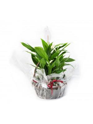 Spathiphyllum en cesta