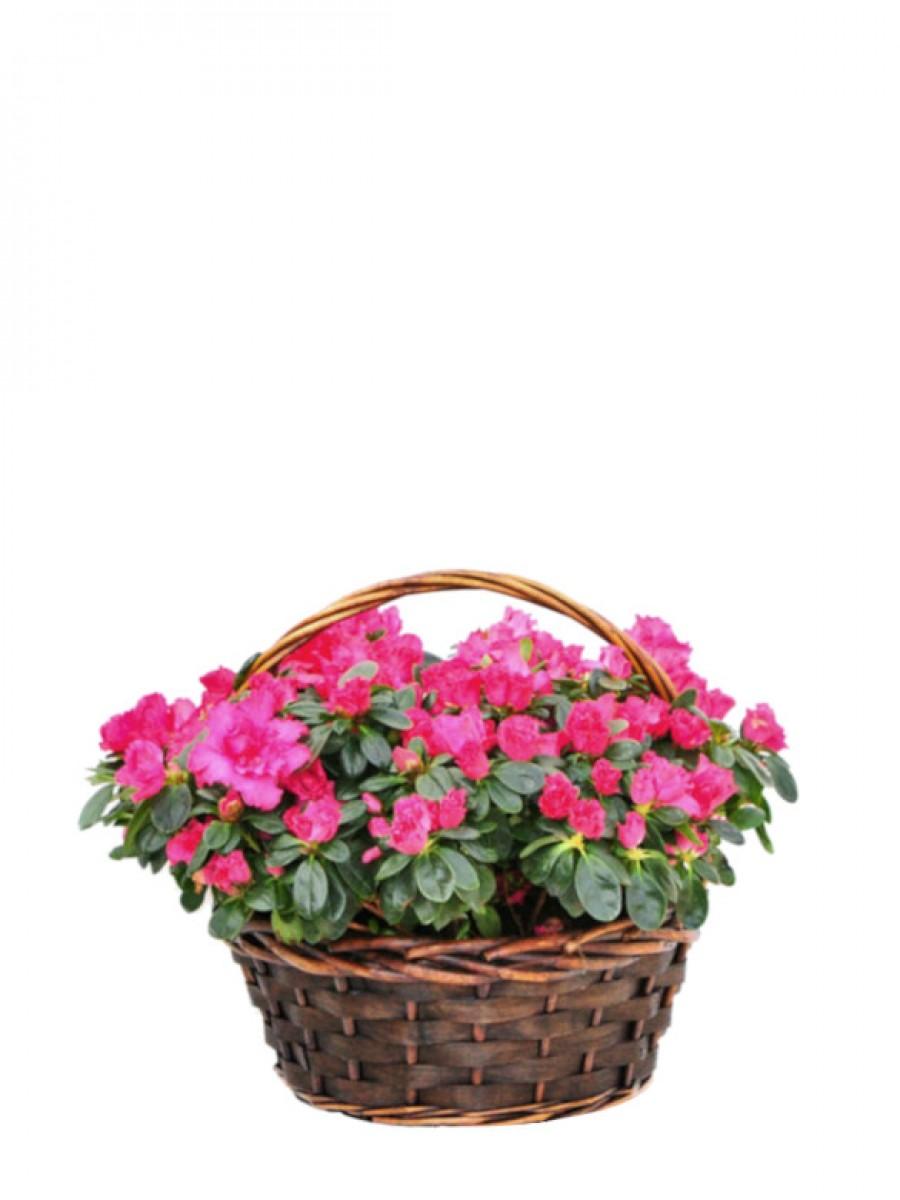 Azaleas en cesta de mimbre