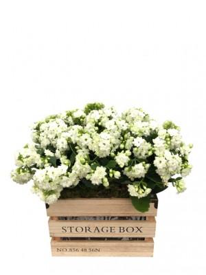 Kalanchoes blancos en caja de madera