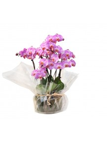 orquideas vaso cristal