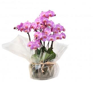5 orquideas vaso cristal