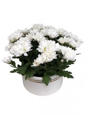 01 Centro de Crisantemos blancos