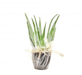 Aloe Vera maceta