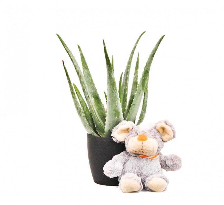 Aloe vera maceta - Planta de aloe vera precio ...