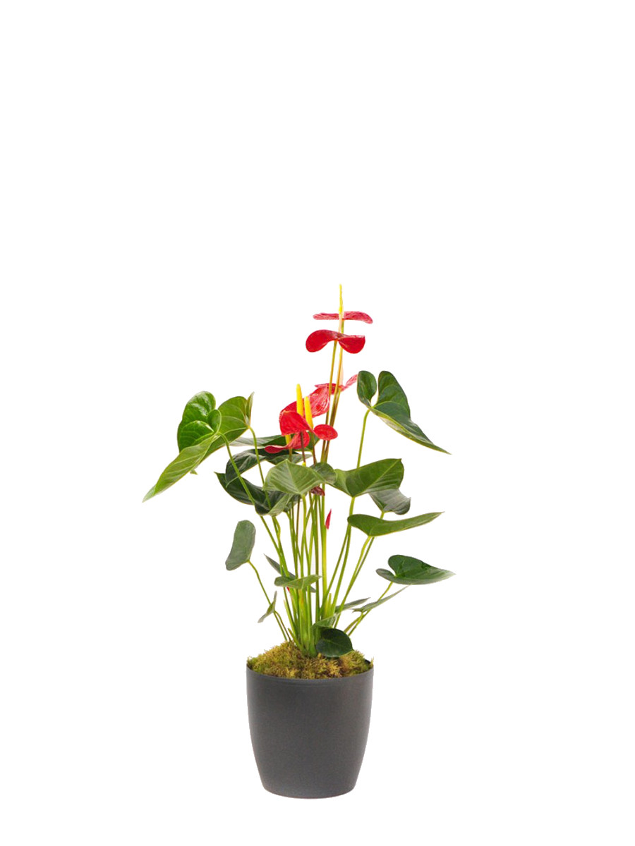 Anthurium en maceta