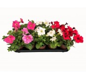Pack 11 Petunias Variadas  ENTREGA EN 24 HORAS.(DISPONIBLE SOLO PARA MADRID)