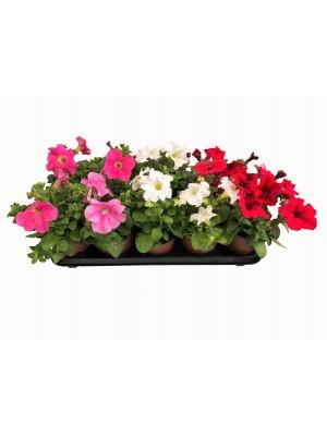 Pack 22 Petunias Variadas  ENTREGA EN 24 HORAS.(DISPONIBLE SOLO PARA MADRID)