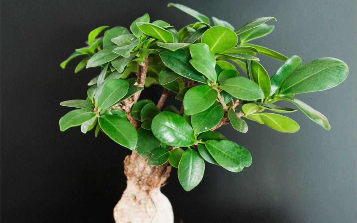 Bonsái Ficus Ginseng
