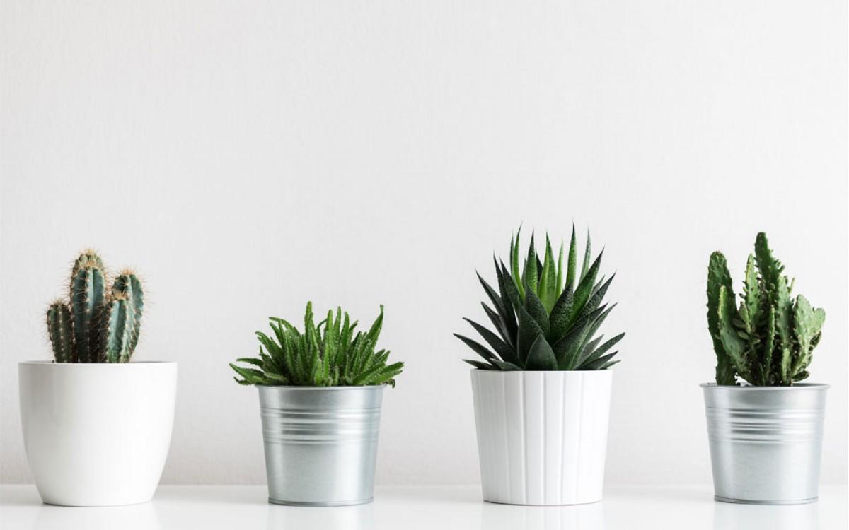 Cactus: una planta que nunca pasa de moda