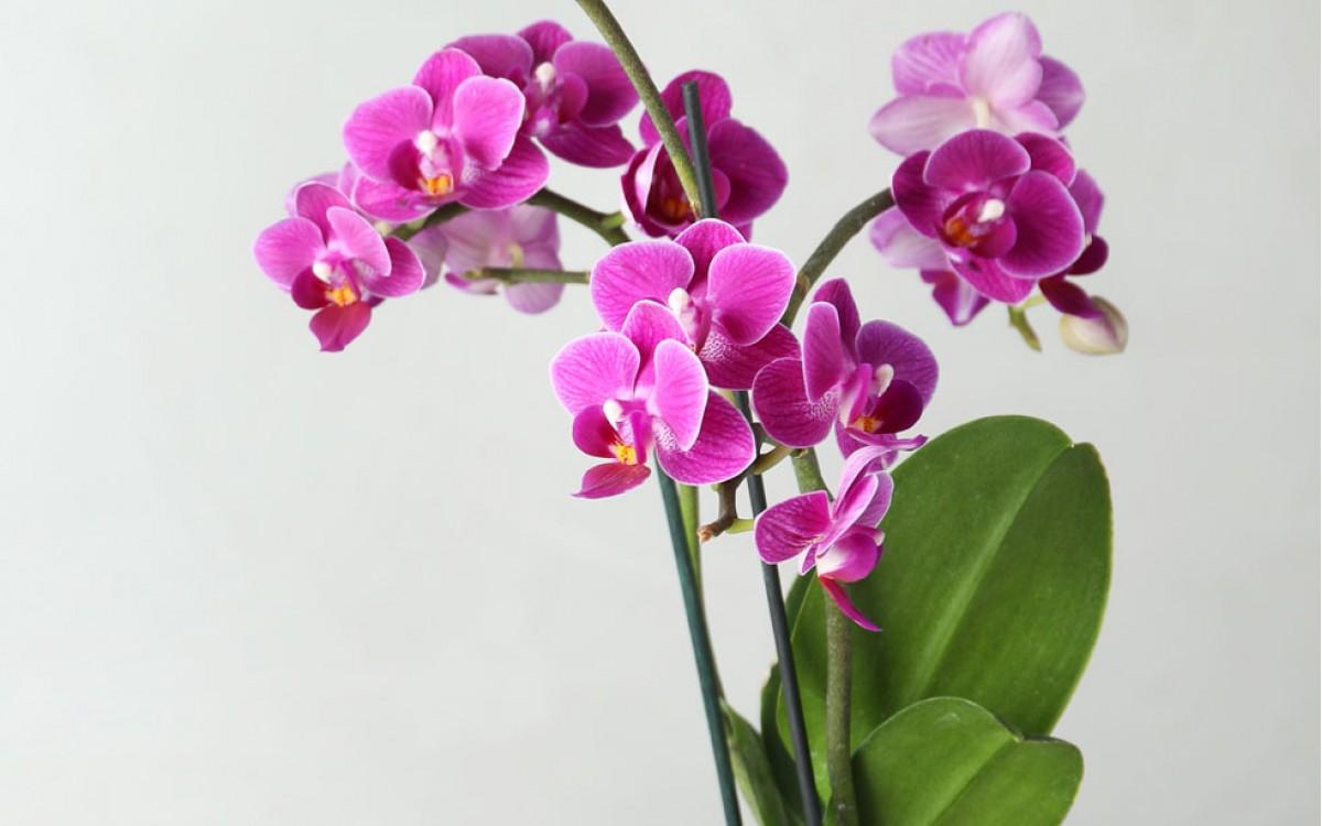 Regálame una orquídea y celebremos juntos un momento mágico.