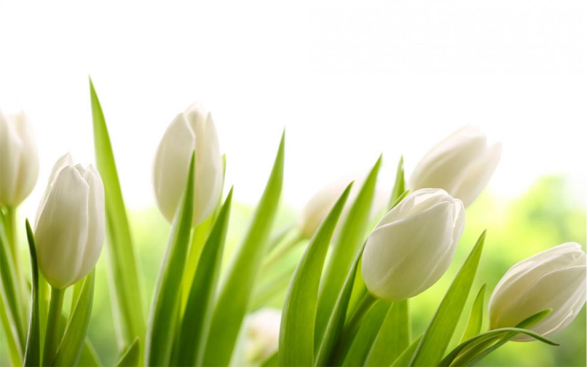 Los Tulipanes Blancos son una representación de ternura