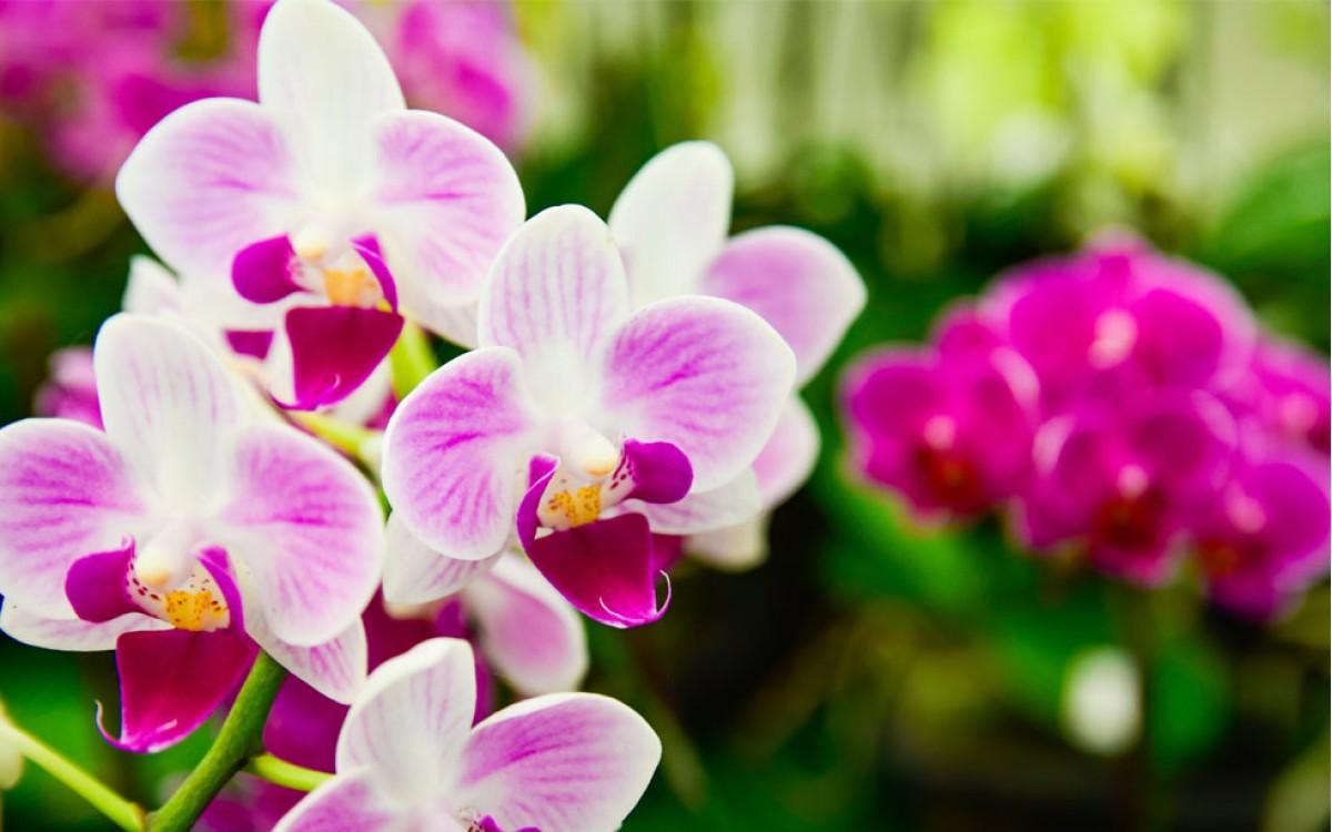 Las Orquídeas, símbolo de elegancia y distinción