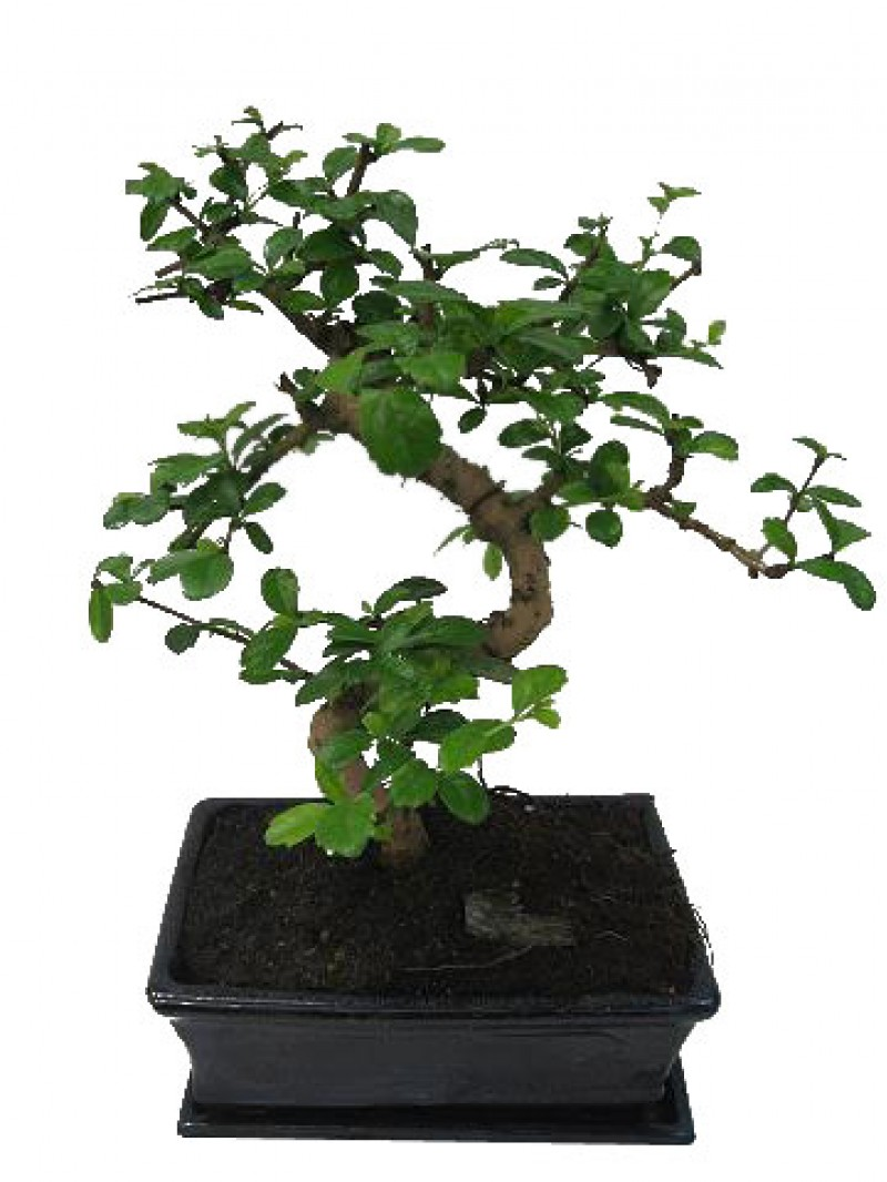 Bonsai carmona maceta de ceramica - Ficus benjamina precio ...