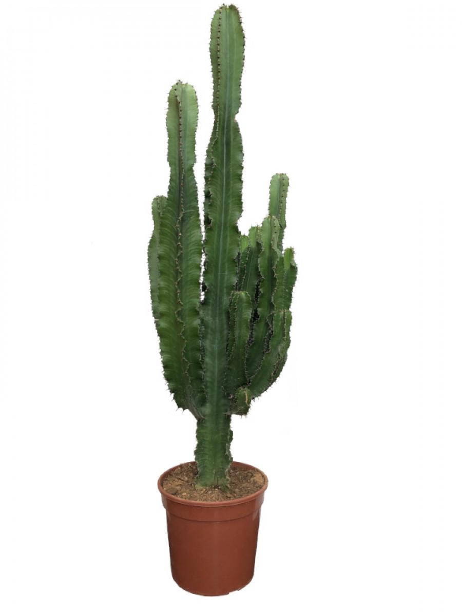 Cactus Euphorbia (DISPONIBLE SOLO PARA MADRID)