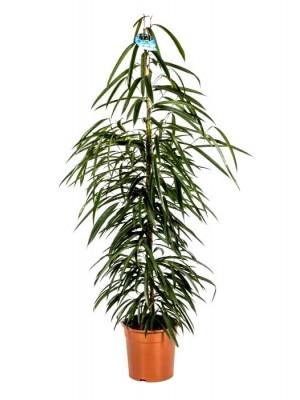 Ficus amstel king maceta m17