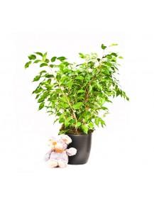Ficus Benjamina maceta m17