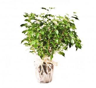 1 Ficus  natasja