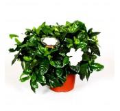 1 Gardenia
