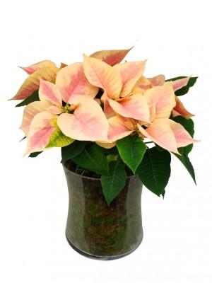 Centro de  4 flores de pascua M12