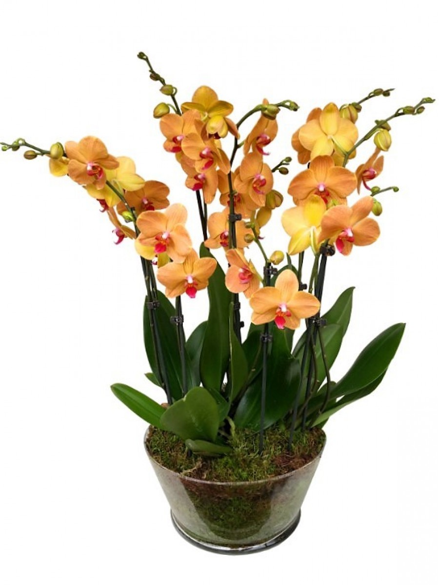 5 orquídeas naranjas en vaso de cristal