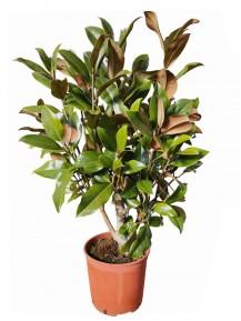 Magnolia Grandiflora M30