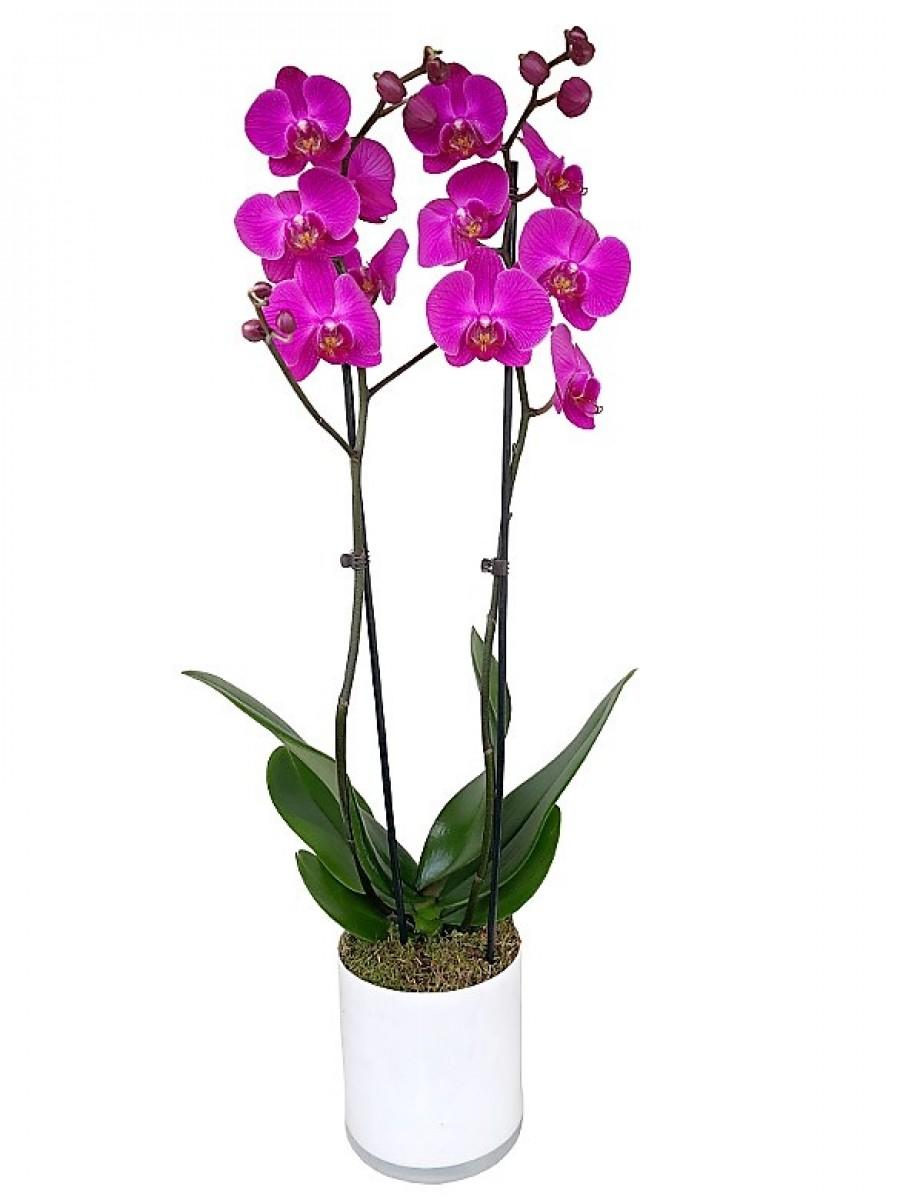 Orquídea de 2 varas en cristal