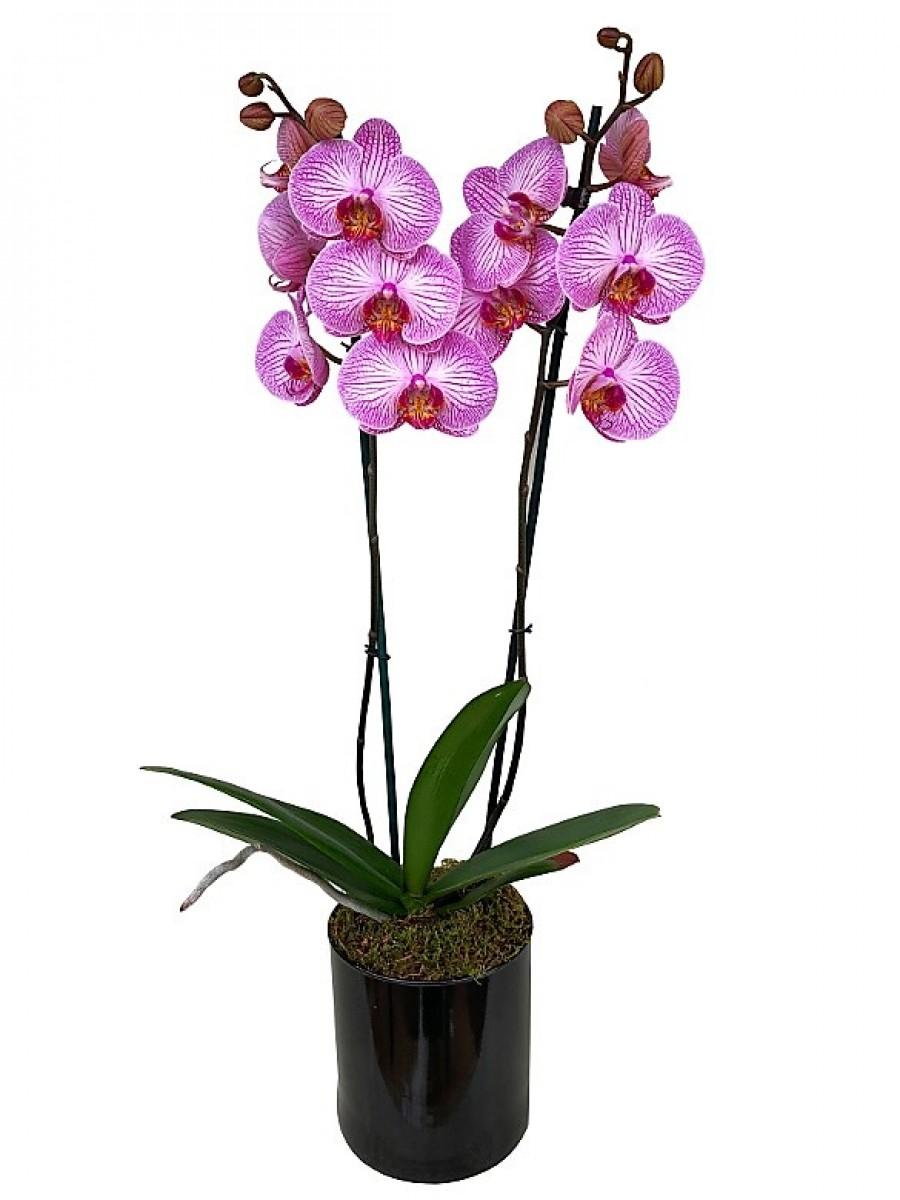 Orquídea rayada de 2 varas en cristal
