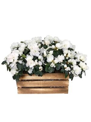 Caja de cuatro azaleas blancas