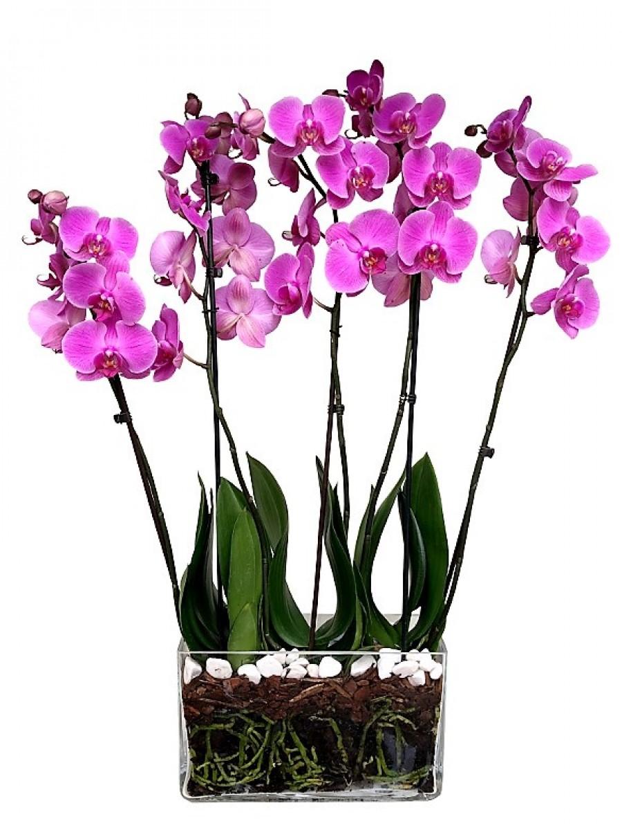 Orquídeas moradas en cristal rectangular