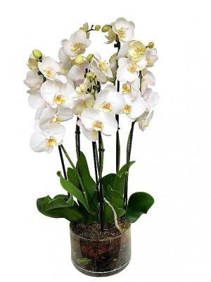 3 orquídeas blancas de 2 varas en vaso de cristal