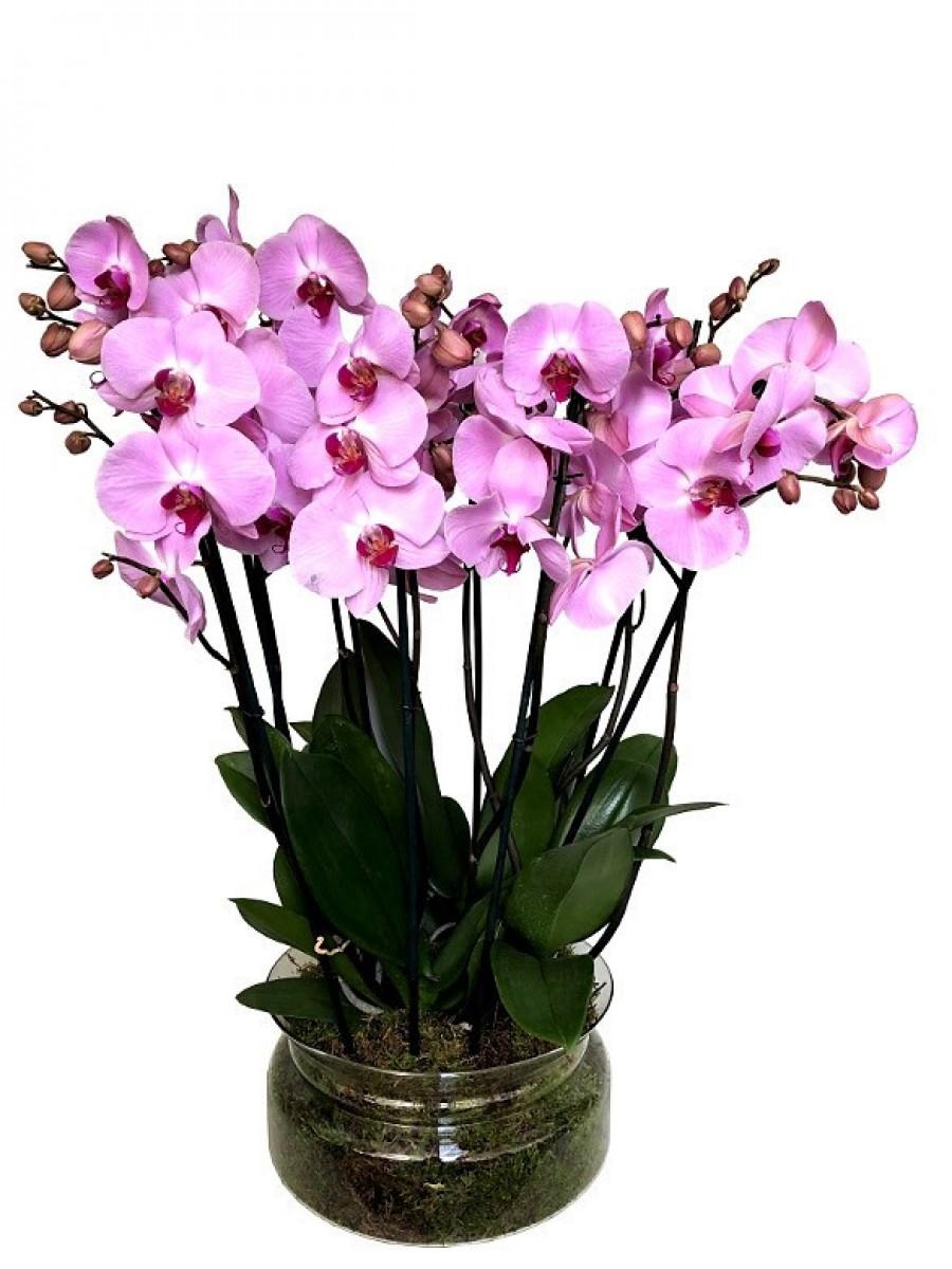 4 orquídeas rosas de 2 varas en cristal