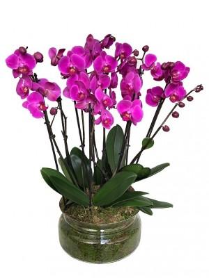 4 orquídeas moradas de 2 varas en cristal