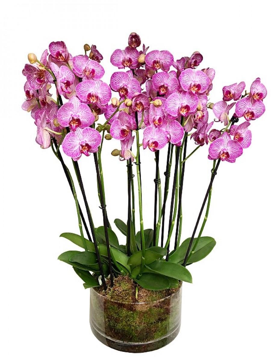 Centro de 5 orquídeas rayadas de 2 varas en cristal