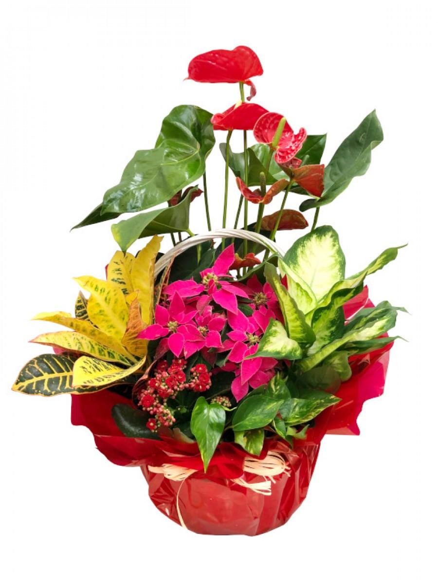 Centro de plantas variadas con flor de pascua