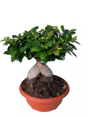 Bonsái de Ficus Ginseng mediano