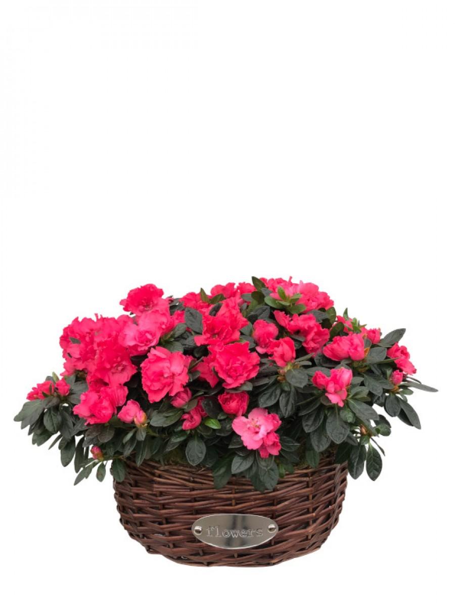 Cesta de cuatro azaleas rosas