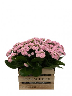 Kalanchoes rosas en caja de madera
