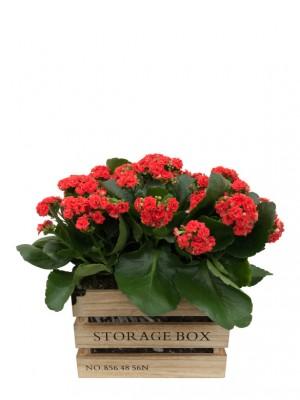 Kalanchoes rojos en caja de madera